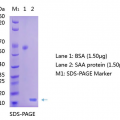 Anti-Serum-Amyloid-A-SAA-Antibody-WB