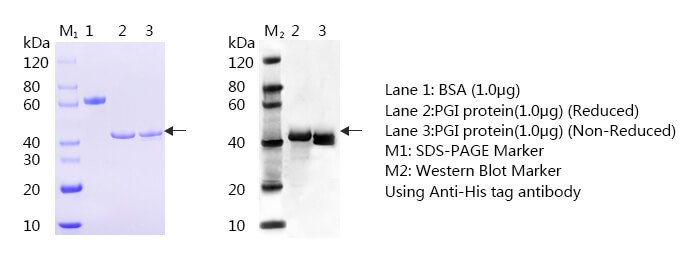 Pepsinogen-I-SDS-page-and-WB