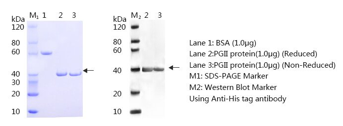 Pepsinogen-II-SDS-PAGE-and-WB